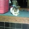 留守番をする猫。