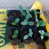 8月の種まき ウリ科 三兄弟 秋栽培開始