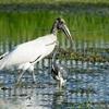 ベリーズ 都市部の Wood Stork (ウッド ストーク)