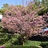 まだまだ桜のシーズンです