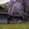渡良瀬渓谷 神戸の桜