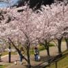 慌ただしく桜の季節が過ぎていく  昔の話しをすることになった(2)