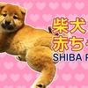 【柴犬の赤ちゃん】そらくんの妹分登場!令和生まれの赤ちゃん! Shiba Inu puppy born in October 2019