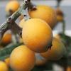 知多の「黒ビワ茶」は、ほっこり優しい味。障がい者支援にも。