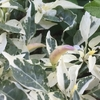 斑入りトウガラシと原種シクラメンとアジサイと。