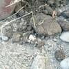 枝豆の種が腐った...    今年も馬糞を撒いて土作りを開始しました!