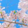 美味しい和食に美味しい日本酒、そして桜ですね♩