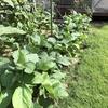 エダマメに莢がつき、ミニトマトが色づき始める頃、ニンジンも肥大化を始める