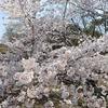 兵庫県)西宮水道局越水浄水場「さくらの通り抜け」。夙川沿いの桜。
