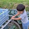 ブロッコリー収穫、2日目