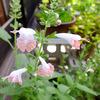 5月中旬 〜わが家の花たち〜