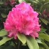シャクナゲの花、咲いています!
