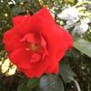 バラ真っ盛り! トラディション95