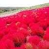 ふわもこな赤の絶景「ひたち海浜公園」のコキア/日本三大庭園 その1 水戸の「偕楽園」