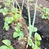 コンパニオンプランツで野菜を育ててみる