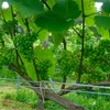 『ワイン体験レポート2年目』8月