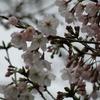 桜はまだかいな・・・!?