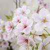 身近な桜も開花する