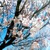 山桜咲く山未満トレッキング【富山:呉羽丘陵】