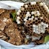 浜松市で庭の木に巣を作っていたスズメバチの巣を駆除してきました!