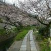 ☆哲学の道の桜2☆