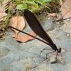カワトンボの翅が開く。