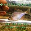 バラタナゴの特徴・外観・飼育・繁殖・釣り情報を詳しく解説!