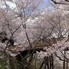 <節約旅行>信州三城さくら巡りの旅[初日] ~ 天下第一の桜「高遠城址公園」