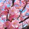週末のお散歩で河津桜を堪能。