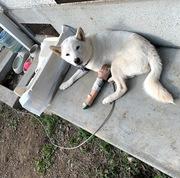 【11月の没っちゃん&ばん太まとめ】飼い始めた柴犬(7ヵ月)が骨折してガッカリで猫(1才6ヵ月)の世話もやる気出ず、グアムを思って寝そべるばかり。。。