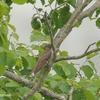 SX70HS 7月の鳥