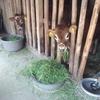 婦木農場が「ジャージー牛」を飼う5つの理由