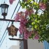 初夏を告げる花ライラックが見頃です。