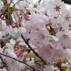 ソメイヨシノ 満開の桜 新宿御苑