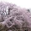 六義園(りくぎえん)の桜