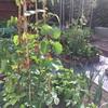 7月後半の菜園