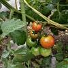 中玉トマト栽培記録 (9~10週間)