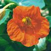 今日の誕生花「ナスタチューム」食べられる植物、サラダに、飾りに!