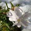 初雪! 芝桜