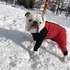 #ブルドックトムくんの雪遊び~。