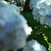 江ノ電 極楽寺川の紫陽花