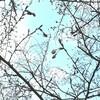 三分咲きにはまだ満たない・・・ 谷中の桜開花状況 3月29日(水)