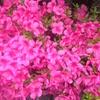 今年は、ツツジの花が満開。去年、植木屋さんに剪定してもらったおかげです。