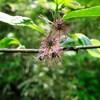 コウゾの花が咲いたよ~へんな花だよ~ん!・・・予告エドノナツザケ