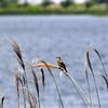 手賀沼湖畔のオオヨシキリ