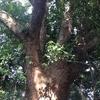 クスノキの木
