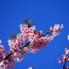 河津桜を見に三浦海岸へ 2021
