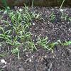 【プランター栽培】台風被害に遭った芽が出たばかりの野菜たち