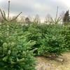 ツリーファームで生木のクリスマスツリー選び🌲