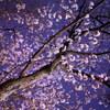 大石神社の桜ライトアップ